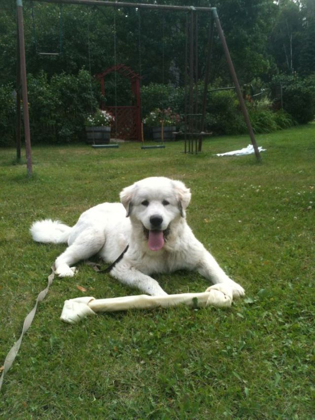 great pyrenees puppy, The Funny Farm, Cook, MN