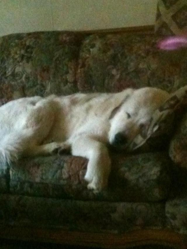 working dog, great pyrenees, couch