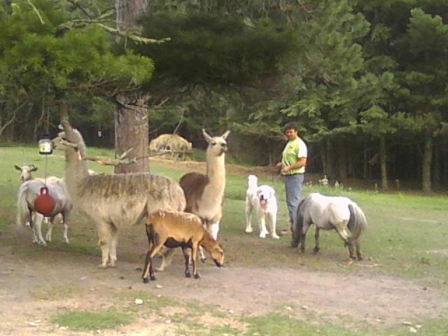 herd, goat, llamas, sheep, pony, great pyrenees, dog