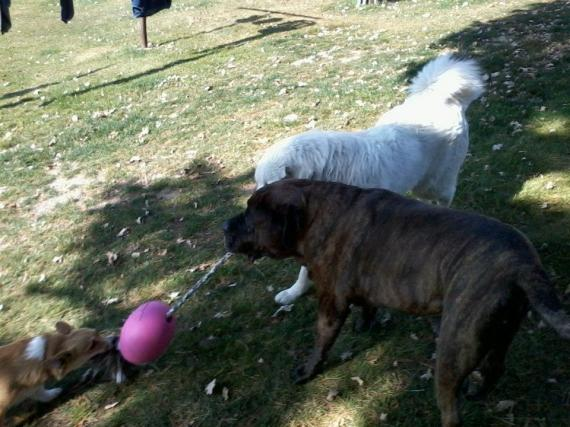 Mastiff, Great Pyreness, Corgi playing