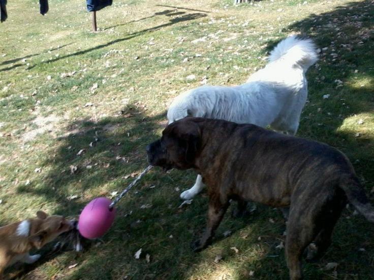 Mastiff, Great Pyreness, Corgi playing