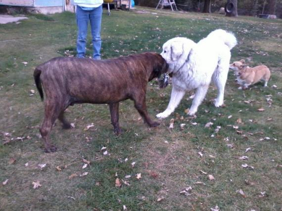 Mastiff, great pyrenees, corgi, walli pajari-williams