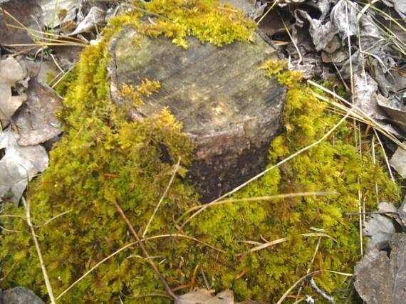 moss, tree, stump