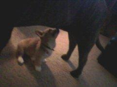 corgi puppy, mastiff, big dog, puppy