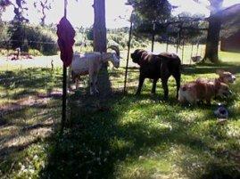mastiff, goat, corgi, pembroke welsh corgis, dogs. farm dogs