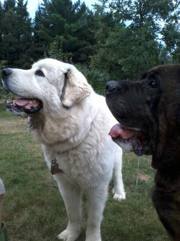 mastiff, greatpyrenees, puppy, big dogs