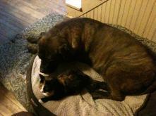 mastiff, tortoishell cat, kitten, big dog, gentle giant