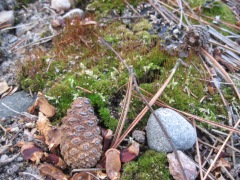 moss, pine cone