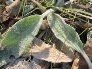 lamb's ear plant