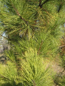 white or red pine