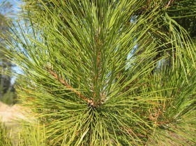 red, white pine needles