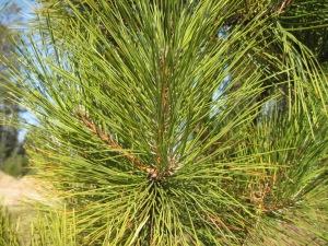 red, white pine needles