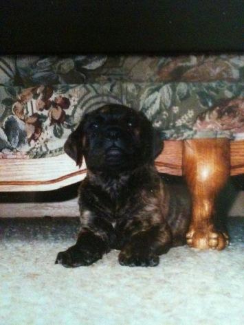 mastiff, puppy, couch