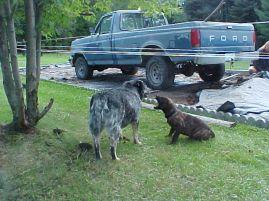 mastiff puppy, blue healer, dogs