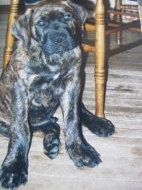 mastiff, puppy, brindle, dog, big puppy