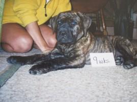 mastiff, puppy, 9 weeks