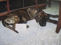 Mastiff, puppy, 10 weeks