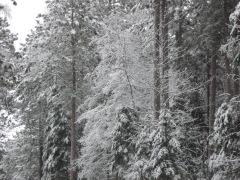 snowy road, snowy trees
