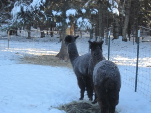 Twin black Alpacas