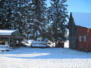 Great Pyrennes, ginormous white slobbering dog, winter, barn, homestead