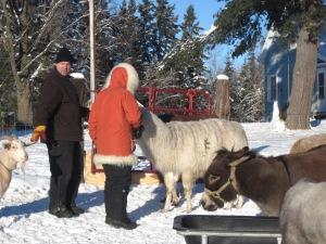 winter, farm, llama, goat, donkey, pony