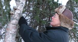 birch, lichen, foraging