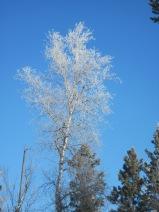 hoar frost, popple, aspen, winter, pajari girls