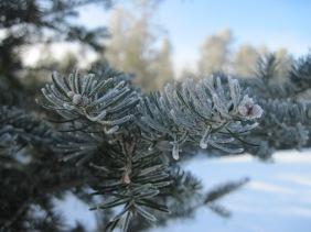 spruce, hoar frost, mn, pajari girls, winter