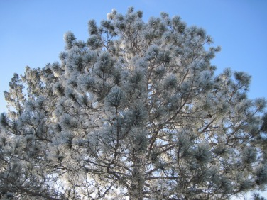 hoar frost, winter, norway pine, mn, pajari girls