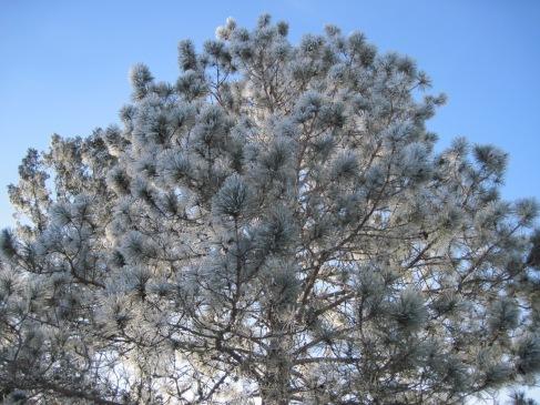 hoar frost, winter, norway pine, mn, pajari girls