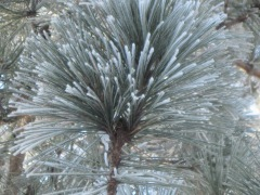 hoarfrost, norway pine, red pine, winter, pajari girls
