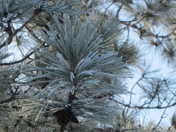 hoar frost, winter, norway pine, red pine, pine cone, pajari girls