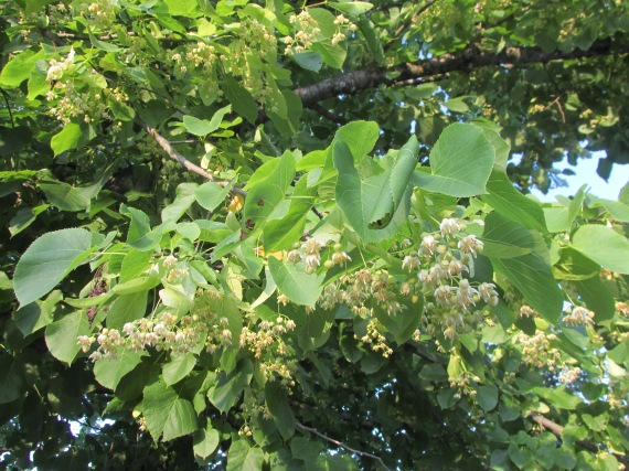 Linden, Basswood, tea, make your own linden tea