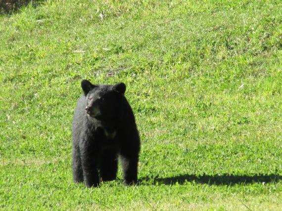 black bear, pajari girls, mn, bear