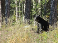 black bear, pajari girls, mn, bear