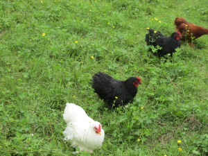 Roosters, Funny Farm, Pajari Girls, Food, Soup