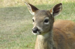 deer, whitetail, baby deer, fawn