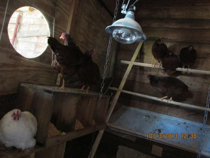 hens, chickens, farm, eggs