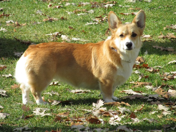 walli, corgi, dog,