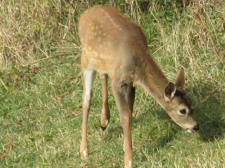 deer, whitetail, baby deer, fawn