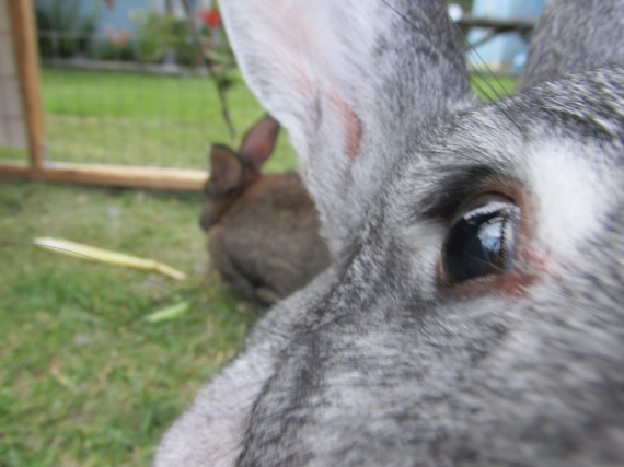Flemish Giant, rabbit, bunny