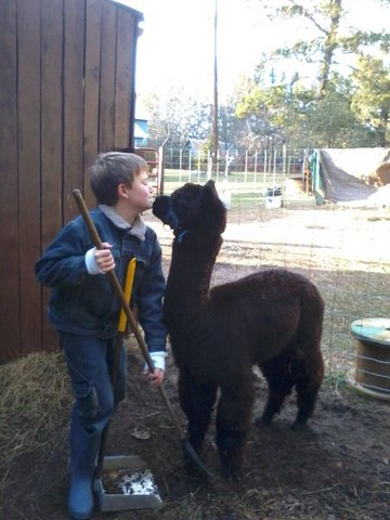 alpaca, farm, pajari girls
