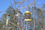 Chickadee in flight 8