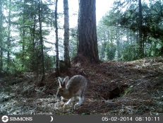 Trail Cam Rabbit 031