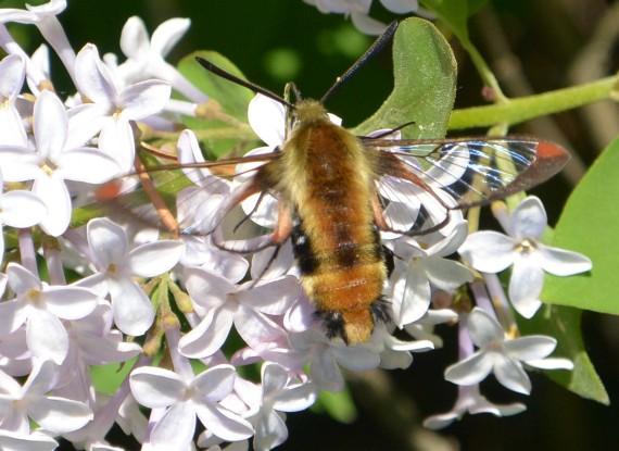 lilacs butterflies and hummer moths 052keep