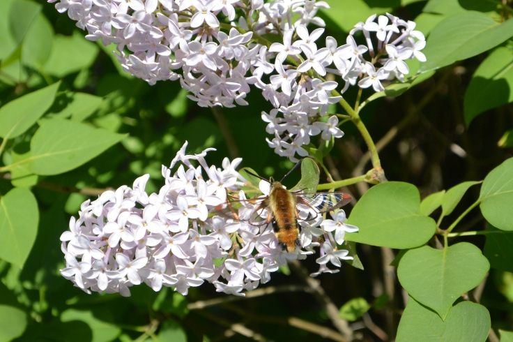 lilacs butterflies and hummer moths 052keep