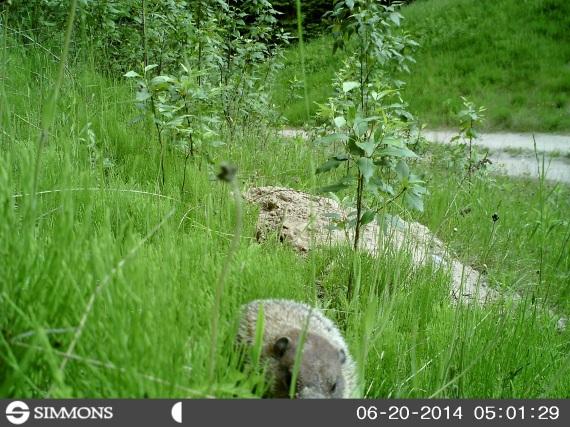 woodchuck, groundhog, trail cam, marmot, ground squirrel, land beaver, cook's country connection, northern mn, minnesota animals, pajari girls, petting farm