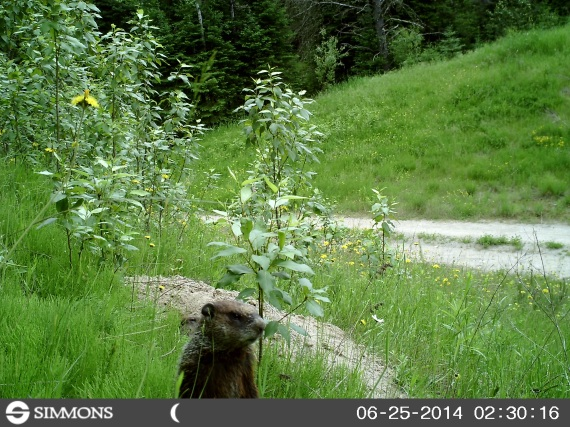 woodchuck, groundhog, trail cam, marmot, ground squirrel, land beaver, cook's country connection, northern mn, minnesota animals, pajari girls, petting farm