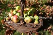 Basket_of_Apples-6