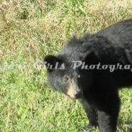 Bear-3